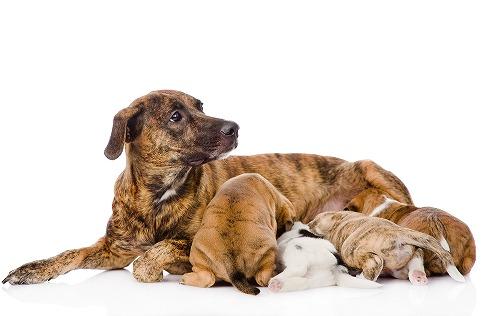 妊娠中・授乳中の犬